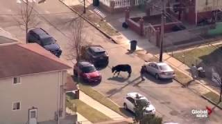 Download Bull on the loose in Queens, New York 3Gp Mp4