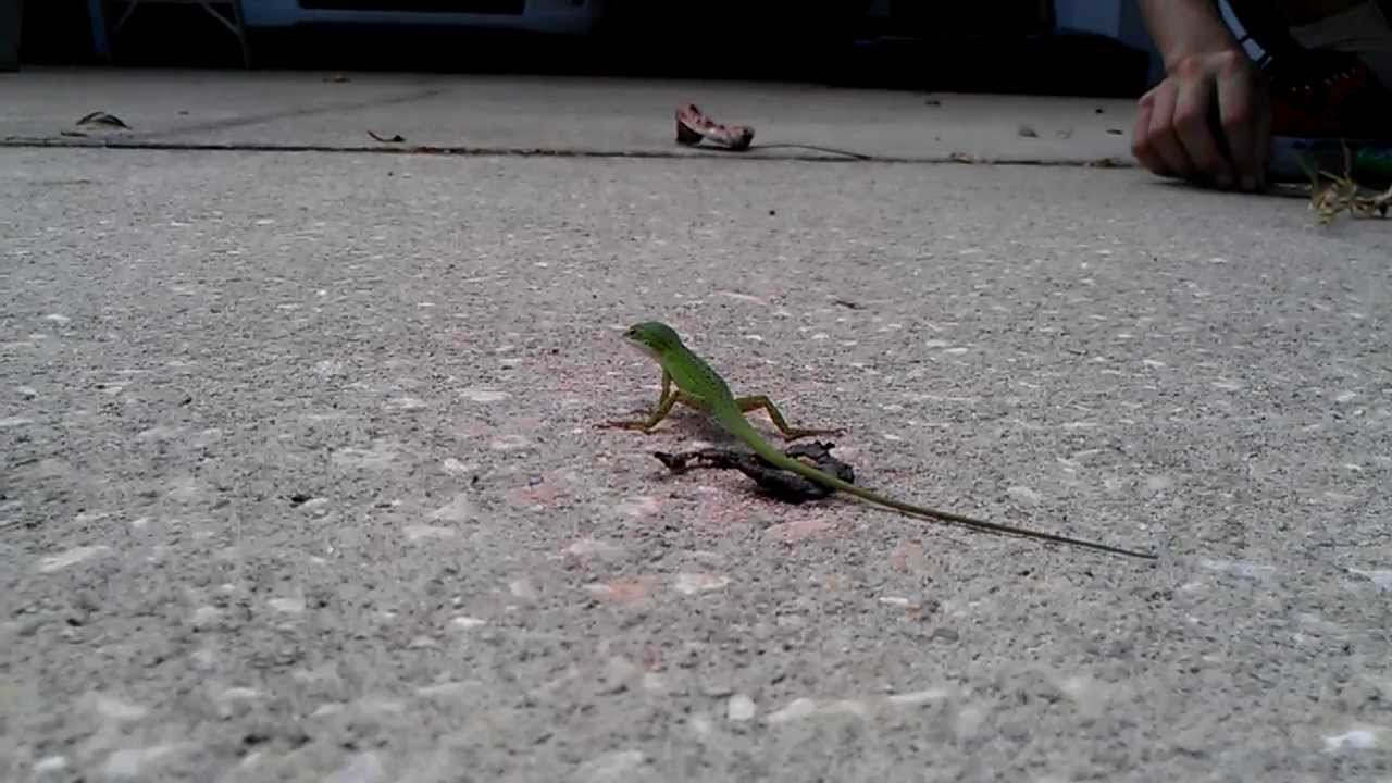 Lizards Eat Ants Anole Lizard Eating Ant