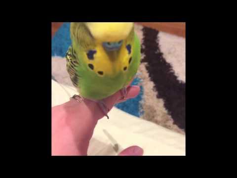 Bobo vorbeste nonstop  papusica mica  perus vorbitor
