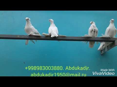 Узбекские голуби.Uzbek pigeons.Гулбадам.
