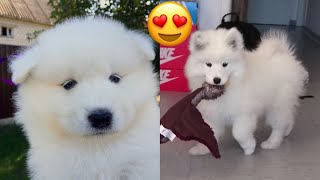 Cute Maya Samoyed Puppy Compilation 🐶❤