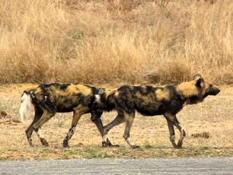 Malamala - Wild Dogs Mating video