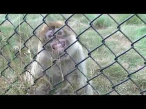 Monkeys Making Funny Faces Funny Monkey Making Faces