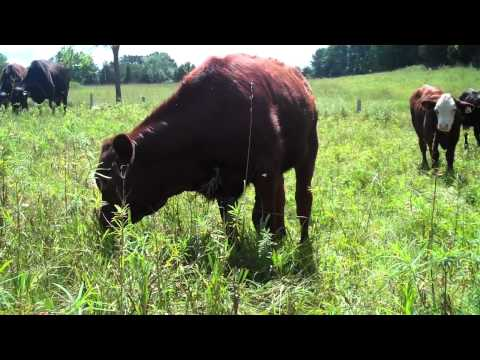 Cows Eating Grass at Lowland Farm--Holistic High Density Grazing