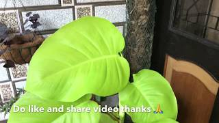 How to get big and shining leaves on Money plant|Best Fertilizer for Money Plant| Madhu Pssion 2020