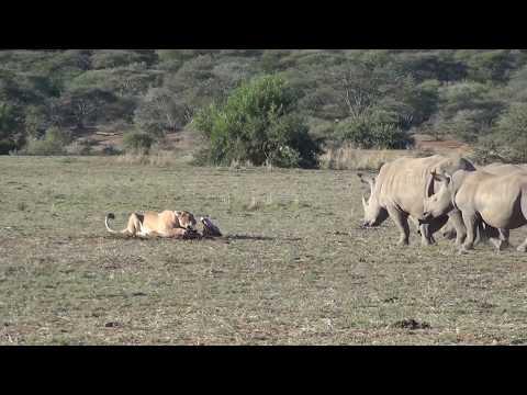 Rhinos investigate a pride of lions on a kill
