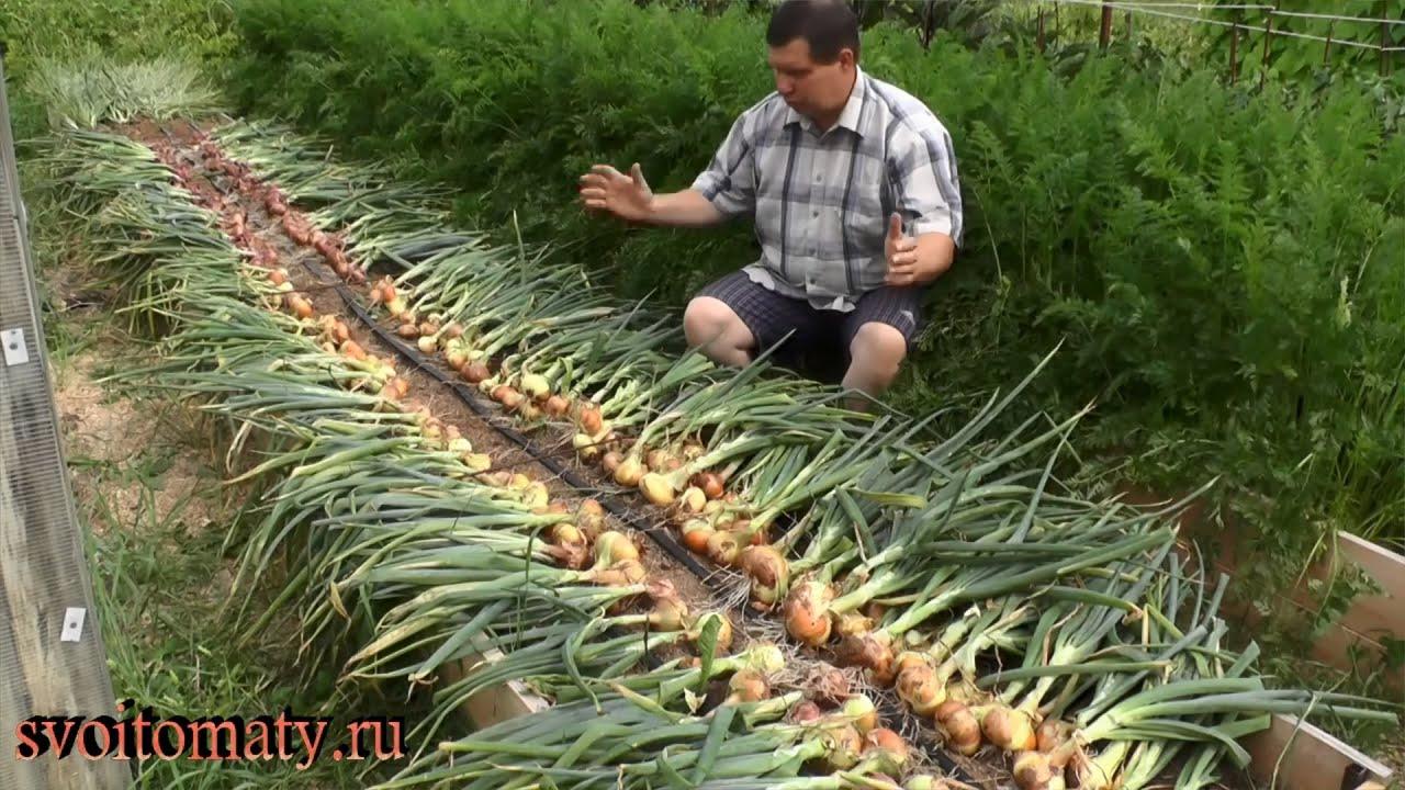 Выращивание лука на репку как бизнес 89