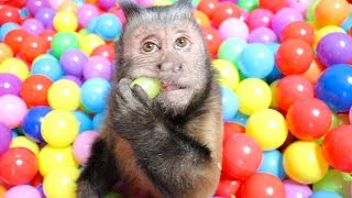 Monkey Forages in Ball Pit!