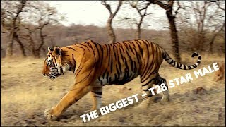 Ranthambore Tiger Sighting | Huge T28 Star male tiger