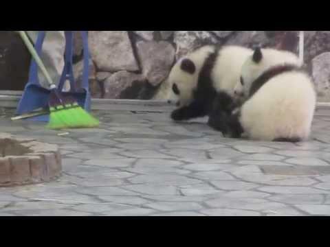可愛い子パンダ~見逃さないでd(ゝω・´★)ネッ