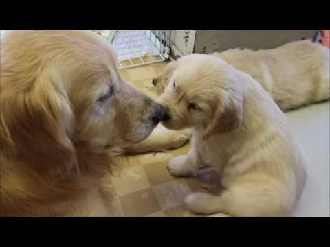 ゴールデンレトリバー 子犬/母犬のしつけ Discipline of the mother dog
