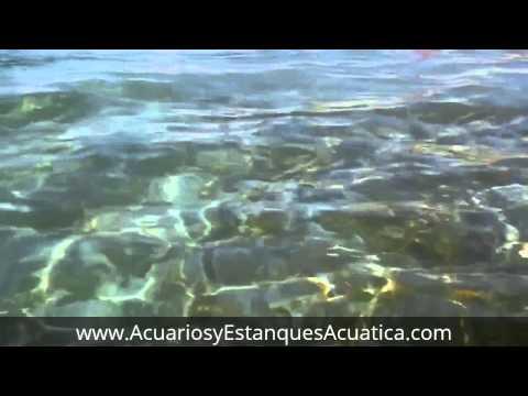 Enorme pez Remo filmado en la playa.