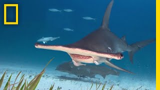 Everything You Ever Wanted to Know About Sharks | Earth LIVE