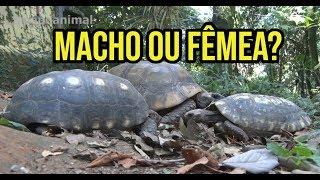 COMO IDENTIFICAR O SEXO DE UM JABUTI