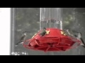 2010 Hummingbirds.wmv
