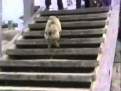 Try Not To Laugh. Best Animals Fail & Wins Compilation Ever !! Funny Hahahah !! video