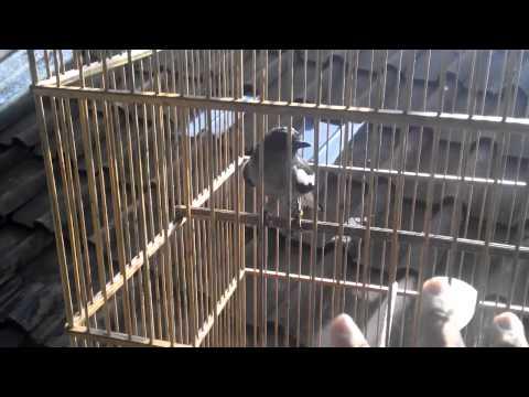Suara Panggilan Kacer Betina (kacer Jawa) video