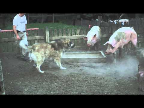 Sarplaninac Karabas Restelicki vs. pigs (4x 250kg)
