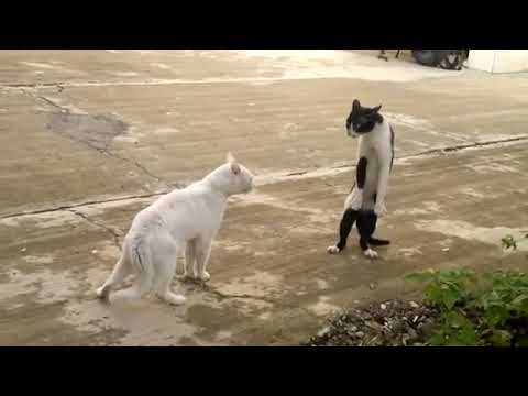 Gato peleando con el estilo cobra