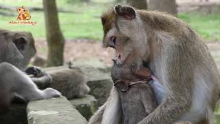 Very Pitiful! Baby Monkey Lori Cry Loudly - She Very Hungry & Don't Want Far From Mom