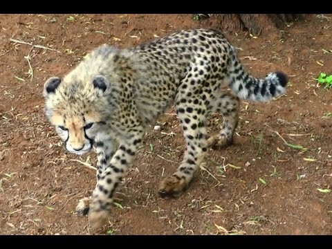 How to deal with a naughty cheetah