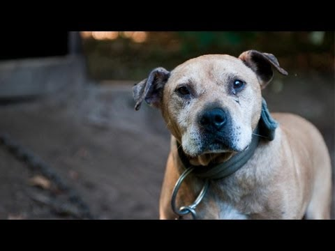Dogs Rescued in Michigan Dogfighting Raid