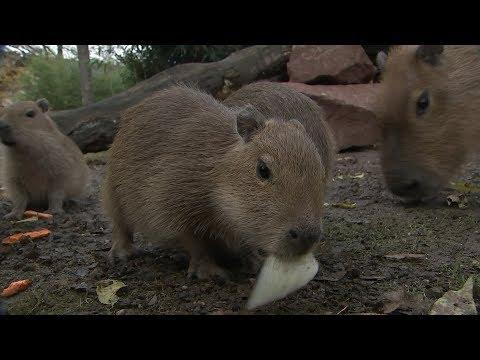 Fütterung der Wasserschwein-Bande