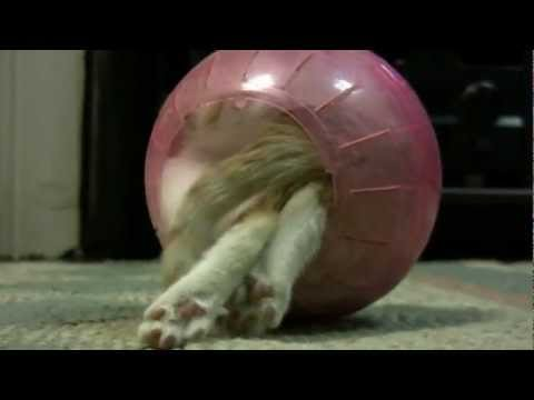 Kitten in a Hamster Ball - No Song