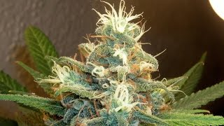 Important Facts about Marijuana. What you should know about Cannabis.
