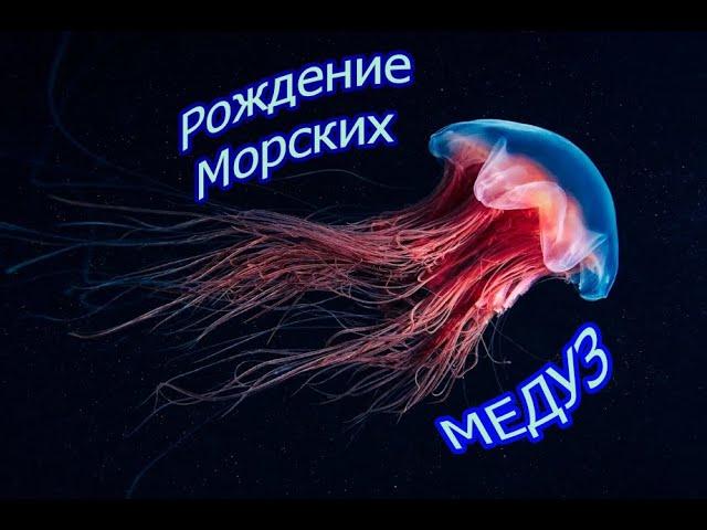 Медуза, рождение морских Медуз