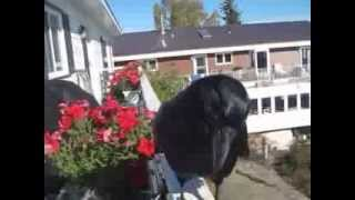 Conversation with Raymond the Raven. He has returned!!!