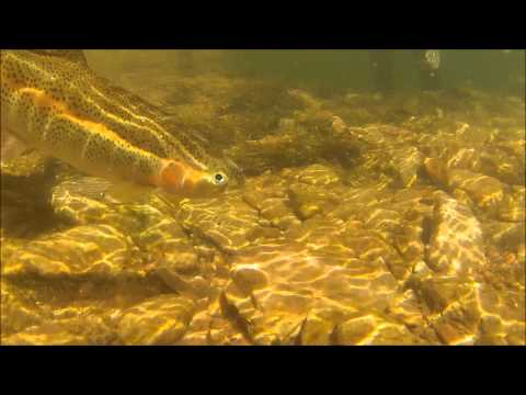 Amazing close up rainbow trout Lees Ferry Az