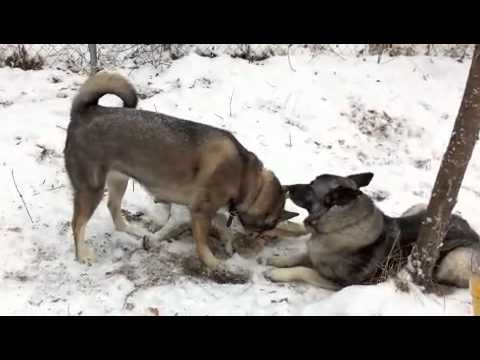 Dog Behavior With Moose Antler