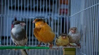 Пение канарейки Певчий кенар Как поет канарейка обучение / Singing canaries canary singing, sounds