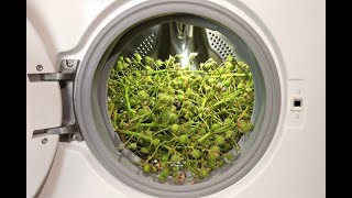 Experiment - Baby Chestnuts- in a Washing Machine - centrifuge