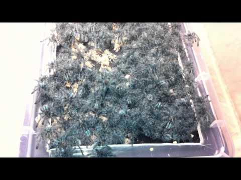 Avicularia versicolor sling update 4