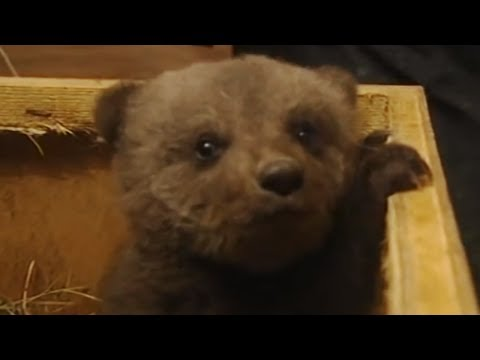 Boris the cute baby bear