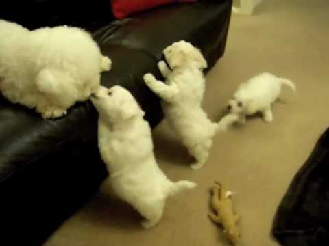 Poppy's 7 Week Old Bichon Puppies - mybichon.co.uk