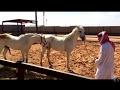 Mating or breeding between horses / التشبيه أو التلقيح والتزاوج بين الخيل