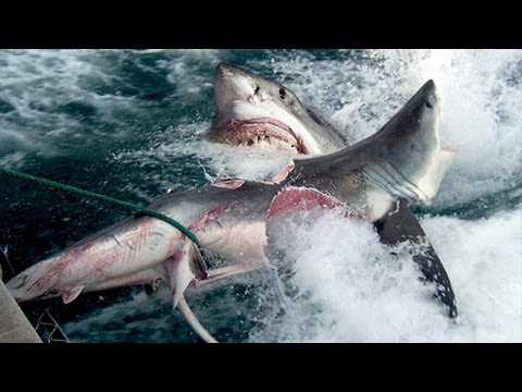 GREAT WHITE SHARK BITES SHARK IN HALF - YouTube