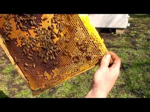 Пчел наращивание семей