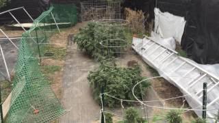 Cannasseur Farms Outdoor 2016 - Harvest Time!!