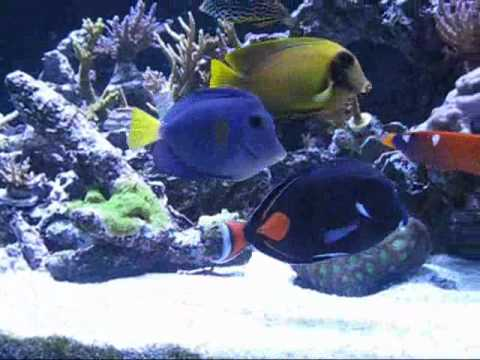 Achilles Tang Facts Achilles Tang Surgeonfish