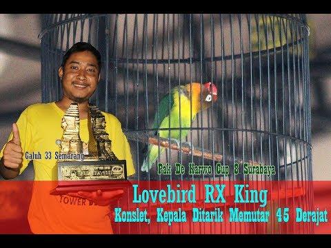 PAKDE KARWO CUP 2018 - Perawatan Lovebird RX King, Konslet Kepala Ditarik Muter 45 Derajat