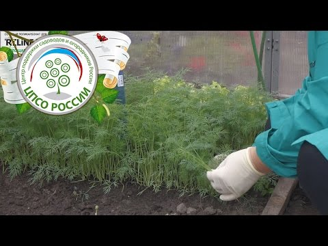 Бизнес по выращиванию петрушки и укропа 47