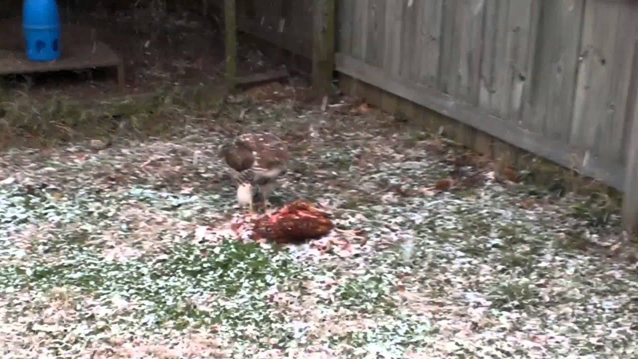 Rooster Kills Hawk a Hawk Killed my Chicken
