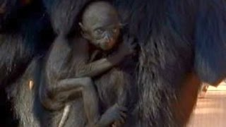 Spider monkey baby looks like a Gollum - unique moments