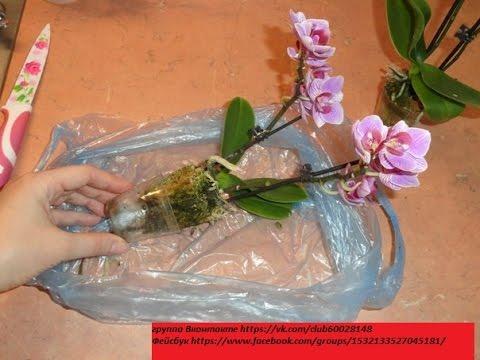 Мини орхидея mini orchid