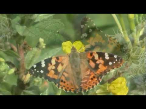 The Swarming of Painted Lady butterflies