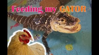Feed My Pet Friday: My Alligator Eats a Chicken